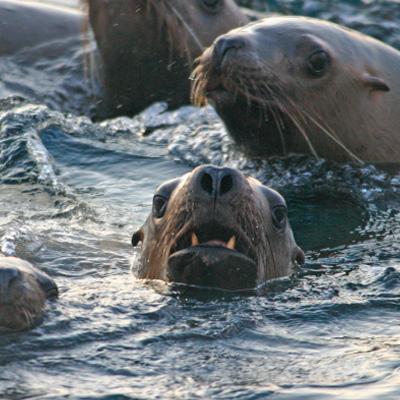 Steller Sea Lion