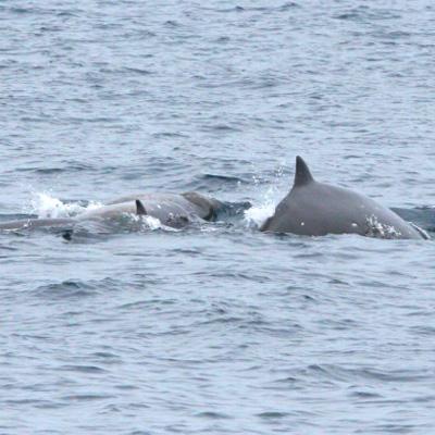 Sato's Beaked Whale