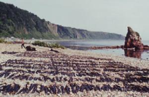 Scenery of drying kelp back then
